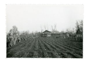 Portion of tomato field planted and prepared with irrigation troughs