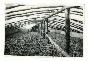 Greenhouse full of transplanted tomato plants