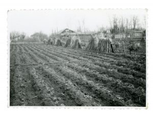 Portion of planted tomato field with support poles ready for installation